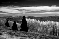 Three pines and aspens (B&W)